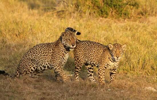 Sucesso da reintrodução acontece quando os animais soltos geram descendentes, que, por sua vez, devem ser férteis