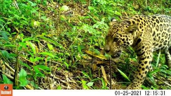 Mãe seguida por filho são registrados por câmeras trap no Paraná. Imagens: Programa Grandes Mamíferos da Serra do Mar