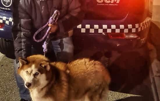 GCM de São Caetano recupera uma cachorra husky siberiano desaparecida e a devolve para a família