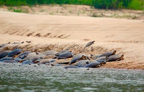 Durante os meses de seca, as tartarugas-da-amazônia deixam a floresta alagada em busca das praias de desova