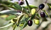 O Ministério da Agricultura suspendeu a comercialização de 33 marcas de azeites de oliva por terem sido adulteradas. Nesta etapa, foram identificados 59 lotes com irregularidades - Continue lendo