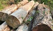Madeira brasileira mais cobiçada em todo o mundo passa a ser vendida como qualquer espécie, sem nenhum controle específico, a preços de eucalipto - Continue lendo