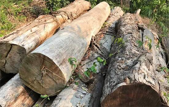 Troncos abandonados de ipê cortados ilegalmente no Pará